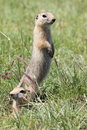 Mongolian prairie dogs in the grassland Royalty Free Stock Photography