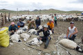 Mongolian shephards sheering sheep ranchers sheer their at a farm in central mongolia Royalty Free Stock Images
