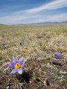 Mongolian steppe in bloom Stock Images