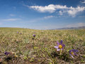 Mongolian steppe in bloom Royalty Free Stock Images