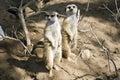 Mongoose Royalty Free Stock Photo