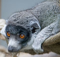 Mongoose lemur 2 Royalty Free Stock Photos