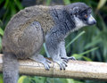 Mongoose lemur 5 Royalty Free Stock Photography
