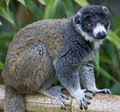 Mongoose Lemur 6 Royalty Free Stock Photo