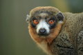 Mongoose lemur the adult Stock Photos