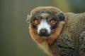 Mongoose lemur Royalty Free Stock Photo