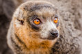 Mongoose lemur eulemur mongoz close up Royalty Free Stock Images
