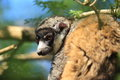Mongoose lemur the lying on the tree Royalty Free Stock Images