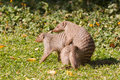 Mongoose love Royalty Free Stock Photo
