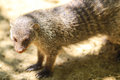 Mongoose mungos mungo standing and waiting Royalty Free Stock Images