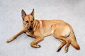 Mongrel dog lying on the floor brown Stock Photography