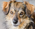 Mongrel dog is photographed a closeup Royalty Free Stock Photos
