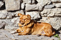 Mongrel mixed breed dog lies near the stone wall Royalty Free Stock Photo