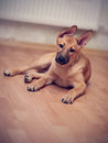 Mongrel puppy beige small not purebred Stock Image