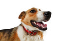 Mongrel stray dog isolated on white background Royalty Free Stock Photography
