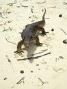 Monitor lizard on hong island thailand Stock Image
