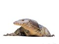 Monitor lizard looking at you Stock Images