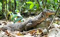 Monitor Lizard moves in the jungle . Philippines. Royalty Free Stock Photo