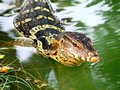 Monitor lizard thailand it s water in it s colorful and beautiful than the other Royalty Free Stock Photography