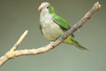 Monk parakeet Royalty Free Stock Photography