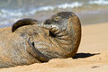 Monk seal on beach kauai hawaii hawaiian resting a in Stock Photography