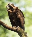 A monk vulture Aegypius monachus Royalty Free Stock Photo