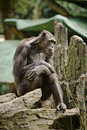 Monkey сhimpanzee thinker ape man sitting wild indonesian indonesia animals indonesia wild animals Royalty Free Stock Images