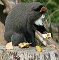 Monkey 2 van DE Brazza's Royalty-vrije Stock Afbeeldingen