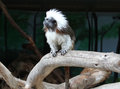 Monkey ape simian jocko copycat irakez mimic Stock Photography