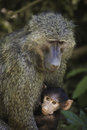 Monkey with baby in national park Royalty Free Stock Photography