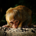 Monkey baby staring at me Royalty Free Stock Image