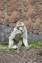 The monkey barbary chews a grass in zoo sits on earth and Stock Image