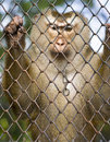 Monkey Behind Bars Stock Photos