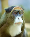 The monkey Brazza Royalty Free Stock Photo