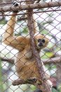 Monkey, Brown gibbon or Lar Gibbon in Dusit Zoo, Thailand Royalty Free Stock Photo
