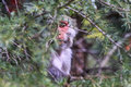 Monkey business – dharamshala adult sees in secret behind the branches of a tree Royalty Free Stock Image