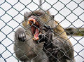 Monkey in cage Royalty Free Stock Photo