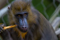 Monkey in a cage chews on bone Stock Images