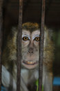 Monkey in the cage a philippine long tailed macaque inside a Stock Images