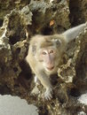 Monkey close up picture of a in melang indonesia Stock Images
