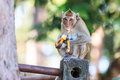 Monkey crab eating macaque eating banana in thailand Stock Images