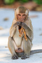 Monkey crab eating macaque eating banana in thailand Royalty Free Stock Photos