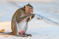 Monkey crab eating macaque eating banana in thailand Stock Image
