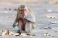 Monkey crab eating macaque eating banana in thailand Royalty Free Stock Photography