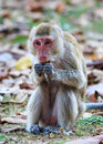 Monkey crab eating macaque eating food in thailand Royalty Free Stock Photos