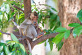 Monkey crab eating macaque eating fruit on tree in thailand Royalty Free Stock Photography