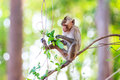 Monkey crab eating macaque eating leaves on tree in thailand Royalty Free Stock Photography