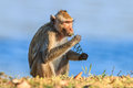 Monkey crab eating macaque eating sapling of plants in thailand Royalty Free Stock Image