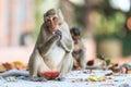 Monkey crabe mangeant le macaque manger du fruit Images libres de droits