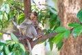 Monkey crabe mangeant le macaque manger du fruit sur l arbre Photographie stock libre de droits
